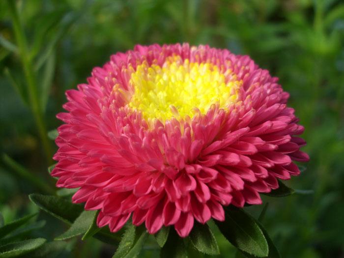 Цветением астры мы встречаем осень, это замечательный цветок, я бы сказал веселенький)) Астры бывают самых разных...