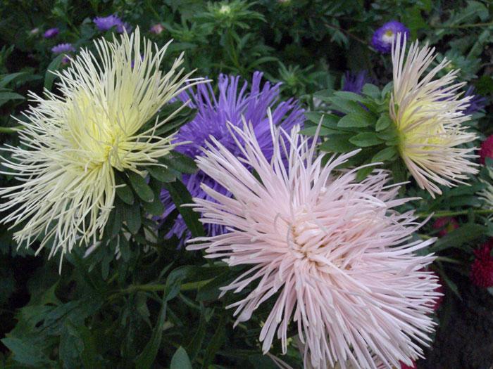 Купить рассаду цветов: астра