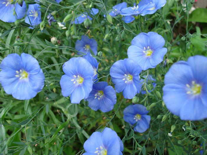 Цветущий лён мамин сад – цветочный