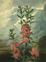 Горный лавр или кальмия (The Narrow-leaved Kalmia or Mountain Laurel), Филипп Рейнегл
