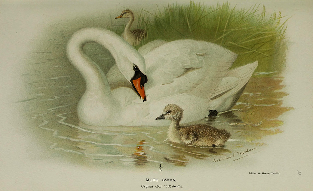 Мишкой тедди, старинные открытки с лебедями