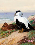 Утки гаги (Common Eider Ducks) :: Арчибальд Торберн, 1912 год